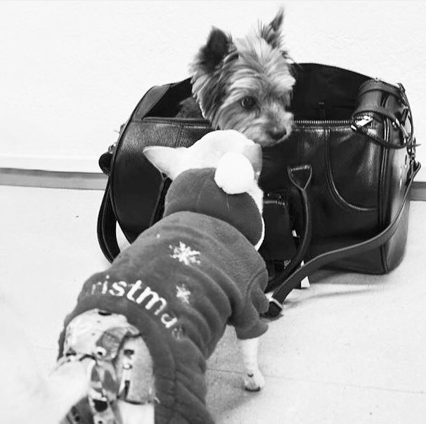The holiday season is getting closer.... #MERIKHbags #petcarrier #travelbag #cabinbag   http:// MERIKH.com  &nbsp;    #leatherpetcarrier #petbag #leatherdogcarrier #dogtravel #ootddog #chihuahua #terrier #pomeranian #jackrussel #yorkshire #smalldogs #christmasgift #christmasgiftideas<br>http://pic.twitter.com/xcEu4fX00Y