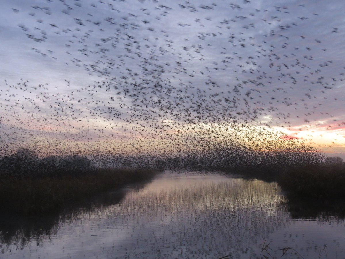 #Starling Lift off @RSPBSouthWest Ham Wall today at daybreak and the colour from the rising sun creeps into the sky <br>http://pic.twitter.com/Chqg55YOMV