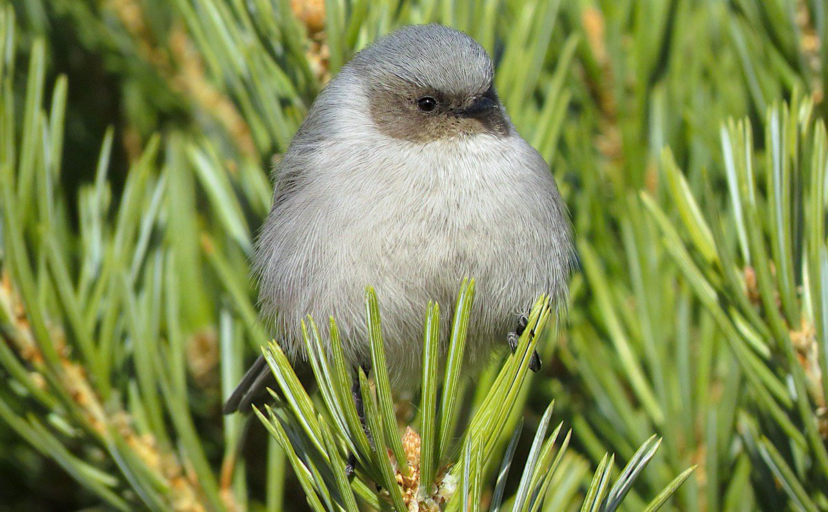 SAY HELLO TO THE AMERICAN BUSHTIT, Psaltriparus minimus, the smallest passerine in North America north of Mexico. This bushtit, an adult male, was part of a flock of ~40 in eastern Boulder County, Colorado.