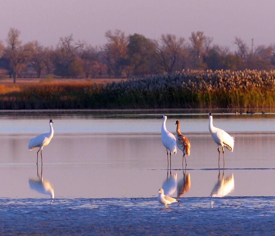 A rare & wonderful sight: 3 adult & 1 juvenile Whooping Cranes at Quivira #WildlifeRefuge #Kansas