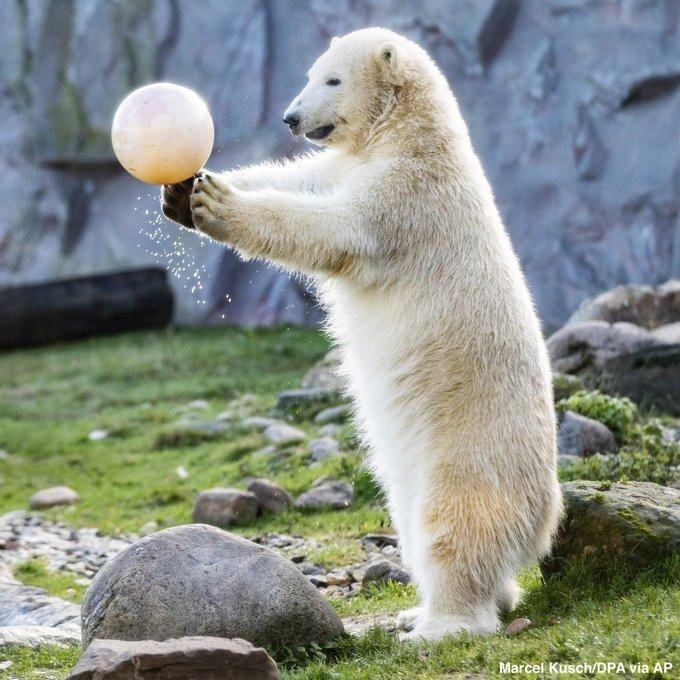 Nanook the polar bear celebrates her first birthday in a zoo in Gelsenkirchen, Germany. Happy birthday, Nanook! Foto