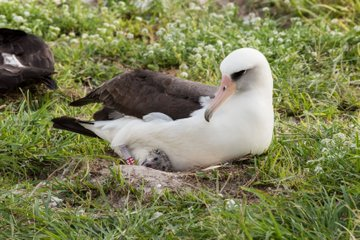 A large white bird sits on a chick.