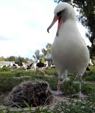 A large white bird appears to squawk at a fluffy chick.