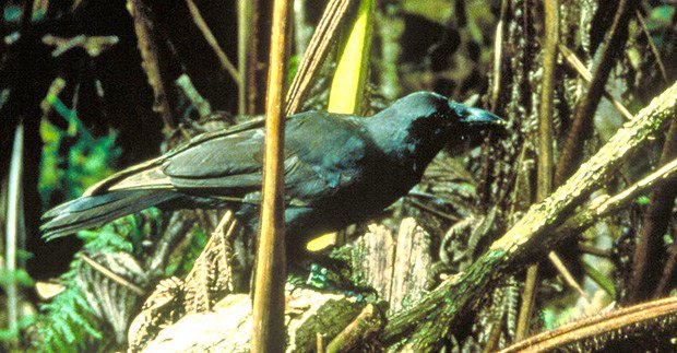 🐦 Failing to hatch: Increasing #HawaiianCrow hatching rate essential -  @UHHilo conservation geneticist Jolene Sutton received a grant that will help discover why eggs have failed to hatch for two iconic endangered bird species. Read more here: https://www.hawaii.edu/news/2018/12/03/hawaiian-crow-hatching-failures/…