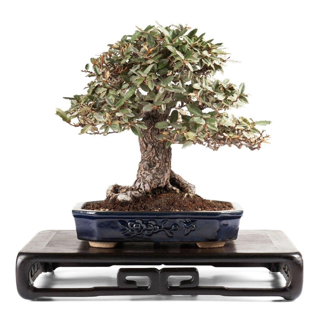 The Bonsai Seed Bonsaiseed Twitter Wiring Cypress 0 Replies 1 Retweet 2 Likes