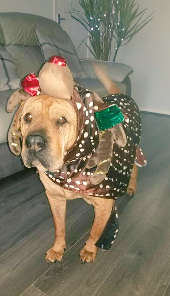 My sisters dog Jackson is all ready for Christmas 🎄😩❤️ https://t.co/DKcd2ZytMp