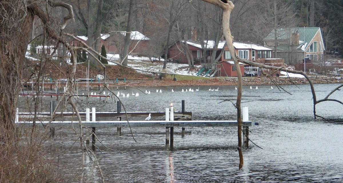 Swans along Sodus Bay (photo)