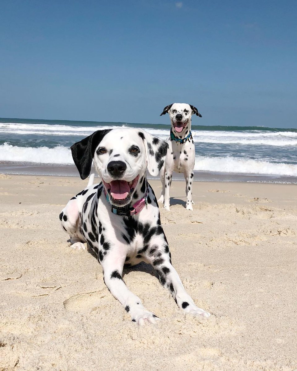 We're playing on the beach with Pingo and Nina — Dalmatian pals who live together in Rio de Janeiro. #WeeklyFluff https://www.instagram.com/tv/BrBEmIYBtOV/