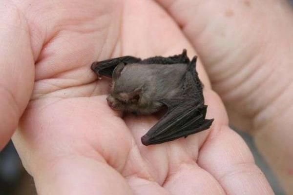 The bumblebee bat is the smallest bat in the world.