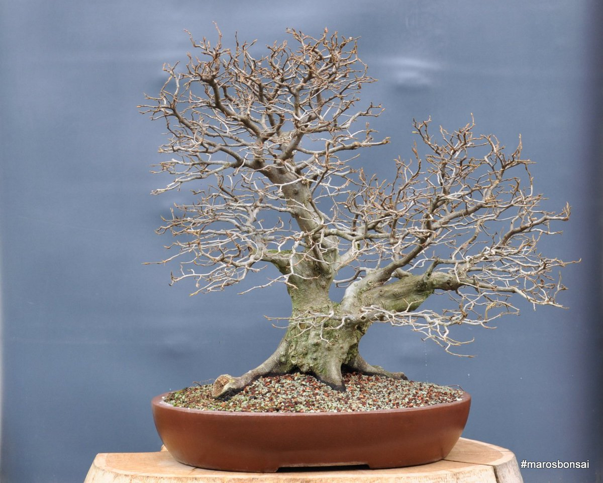 Yamadori Hashtag On Twitter Bonsai Without Wiring 1 Reply 3 Retweets 10 Likes