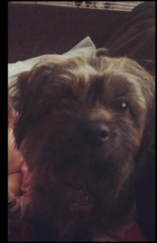 CHEWY #Sighted on #A444 near Grangewood fencing, Castle Gresley  She was #lost 1 Dec on Linton Road #DE11 in the cow field behind. Seen near the #train lines.  @networkrail have been made  aware  Scruffy coated shitzu x Lhasa. Very wary of people ! #swadlincote #missingdog <br>http://pic.twitter.com/5ZfJOar3qC