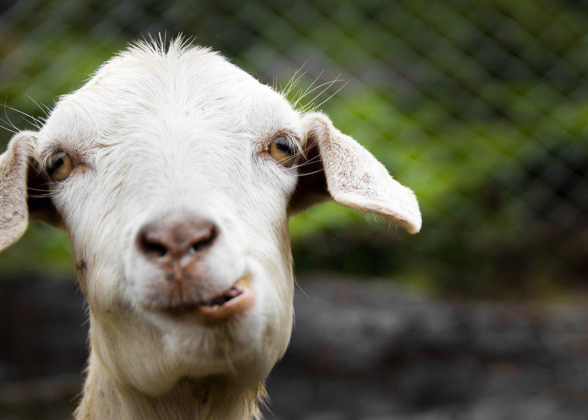 Неделей масленицы, коза смешное картинки