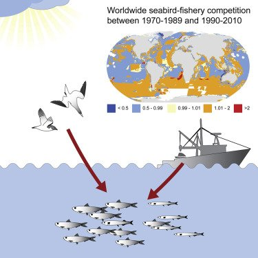 #seabirds are in decline, and still have to compete with humans for #fish https://www.cell.com/current-biology/fulltext/S0960-9822(18)31418-0… #saveouroceans