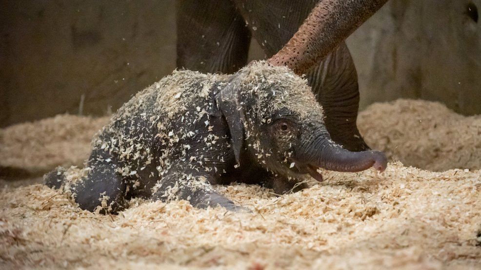 Baby elephant born at Columbus Zoo, shows off its cuteness immediately! >https://t.co/edvfLJv8PN #SoCute