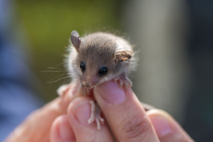 With a taste for the nectar of Australian flowers, the Western Pygmy Possum is the sweetest little thing you'll hear about today https://t.co/WmUtNcYZ9S #RNOffTrack