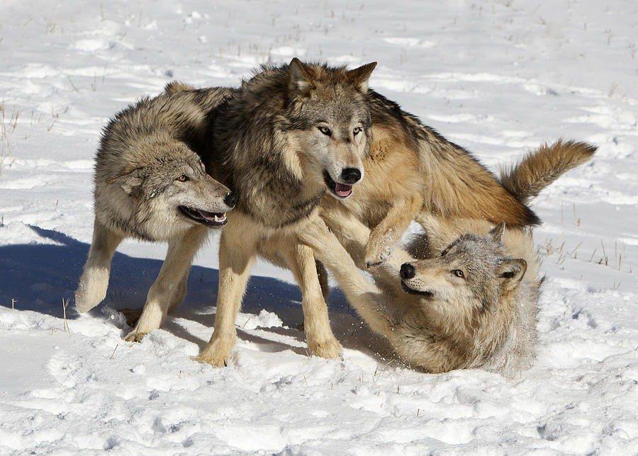 картинка трусливого волка кухонной зоны большой