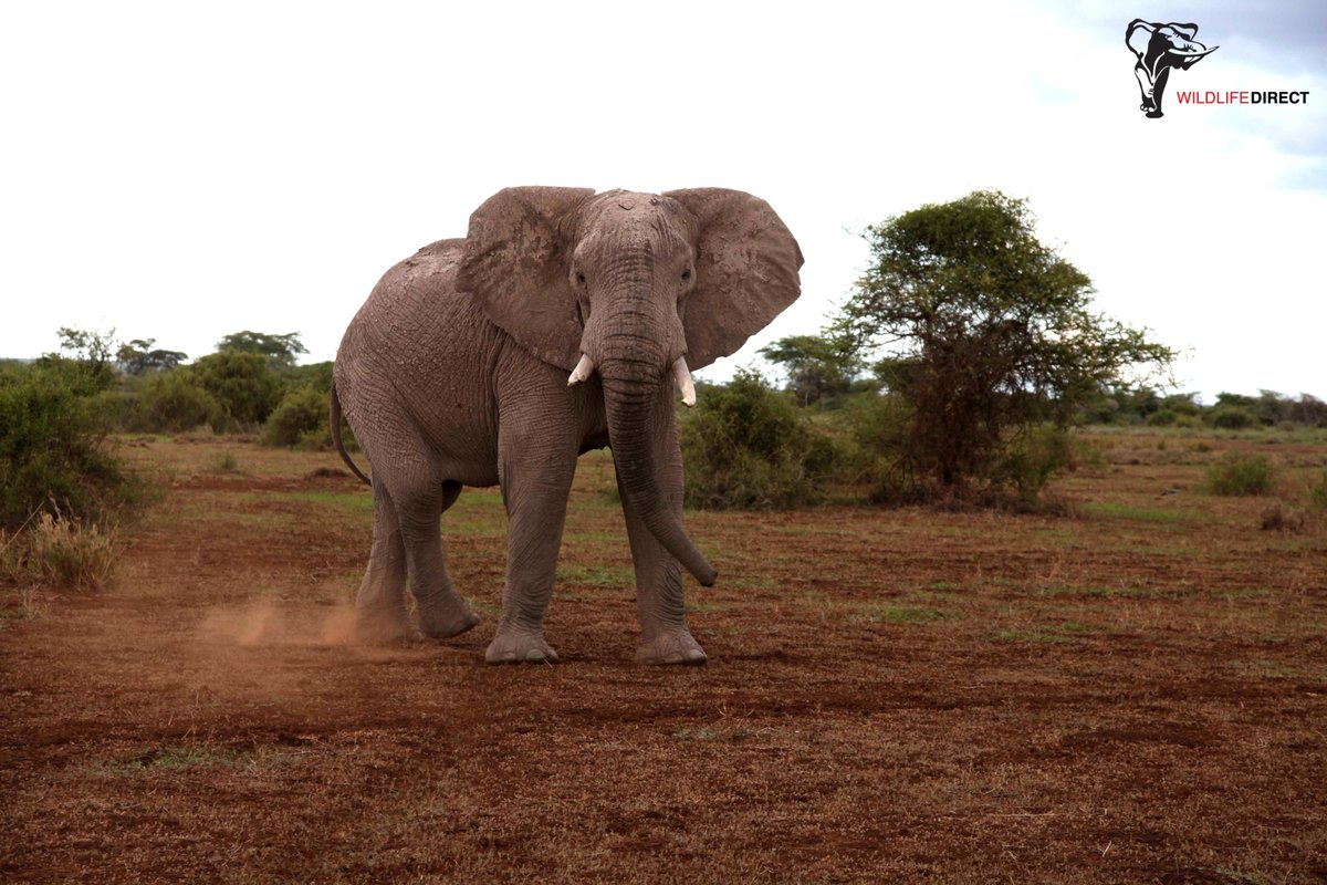 121 Kenyan courts were surveyed between January 1st 2016 and December 31st 2017 to examine how well the #Wildlife Act is being enforced. Read the outcome  https:// bit.ly/2wvLLcF  &nbsp;   | #EndWildlifeCrime <br>http://pic.twitter.com/LWKVkeh7zi