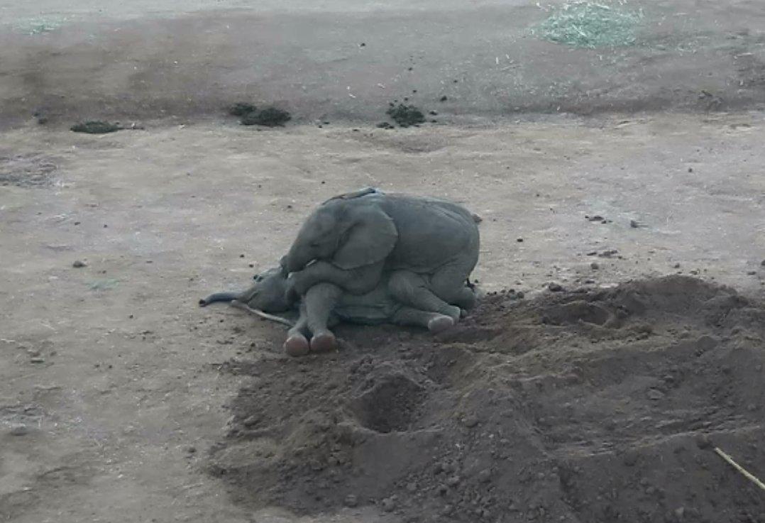 Cute factor of 10. Zuli and Kaia playtime. #PachydermPair @sdzsafaripark<br>http://pic.twitter.com/Q8RvFlZjHd