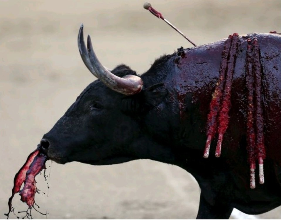 If you think this is culture, sport or entertainment, you are a cunt. #BanBullfighting <br>http://pic.twitter.com/ESAAaJM2Rh