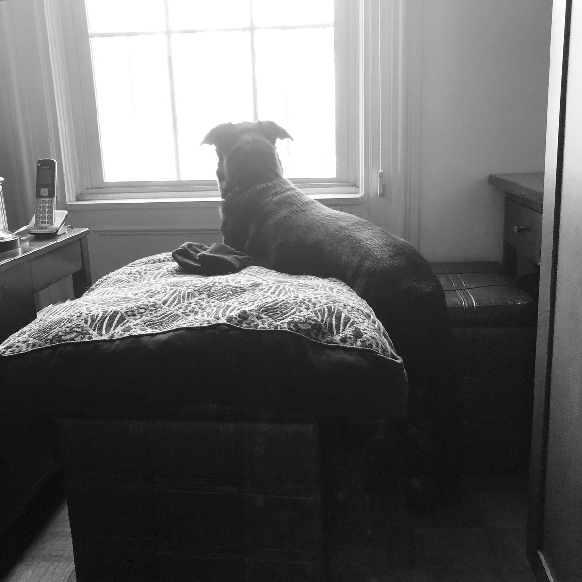 Lana's @lanathelovepup favorite new morning ritual: kisses, breakfast, and sit/standing at her big window of wonder. #lovelyblackdogs #happiness #rescuedogs #rescuedogsofinstagram #rescuedogsofboston #bordercollie #borderlab