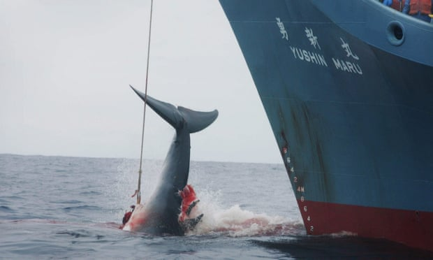 Today it has been announced that Japan will RESUME commercial whaling next year. This is one of the most cruel, barbaric & archaic practices. It threatens not only one of the most intelligent species on earth, but also the complex ecology of the ocean.Pls RT & openly oppose this.