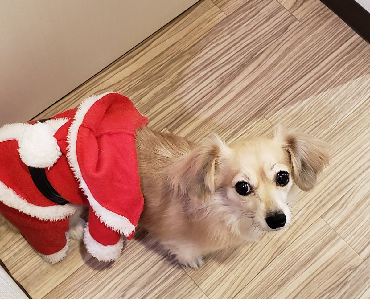 おうちに帰ると、チャーモがX'mas前に、サンタ服脱ぎかけてた(笑)  チャーモサンタからのX'mas プレゼントまってたのになー(笑)  #ちわっくす #サンタpic.twitter.com/GLRLWFbaeF
