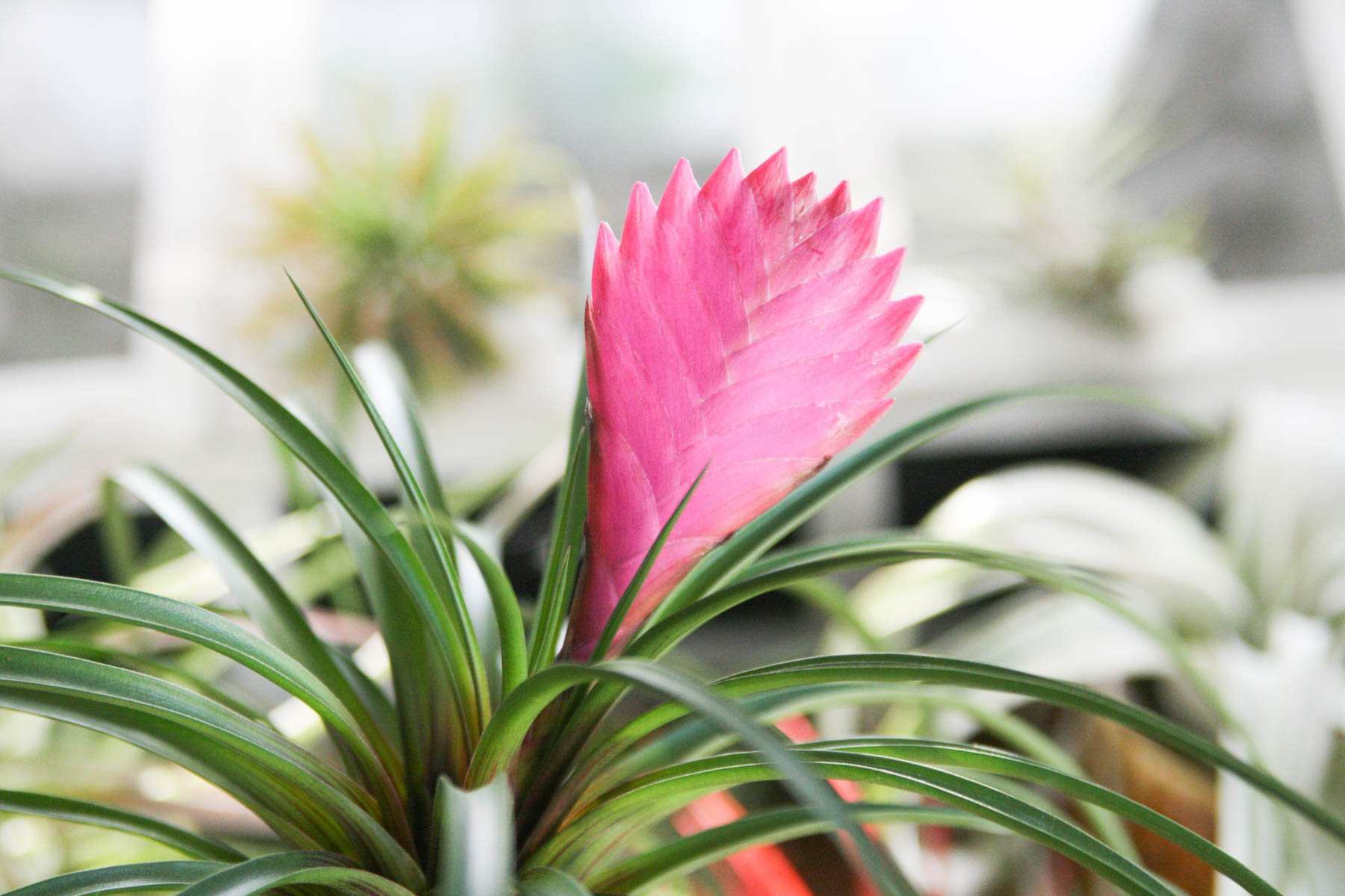 цветок тилландсия фото ознакомиться
