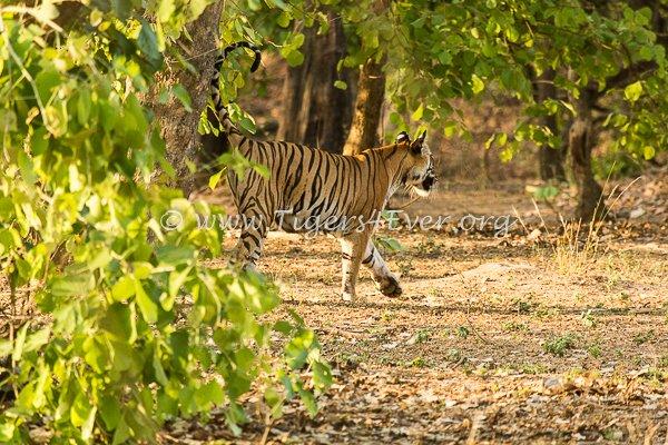Rajbehra #tigress supermum #Tiger #Dynasties