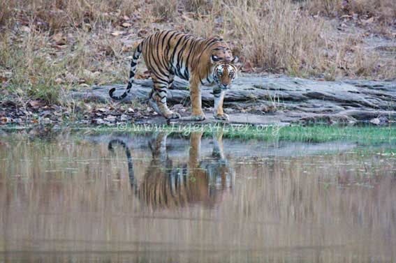 Jhurjhura #tigress mother of the Rajbehra #tigress & the history part of Bandhavgarhs #Tiger #Dynasties. Help us give the current #Tigers wild futures goto.gg/34704