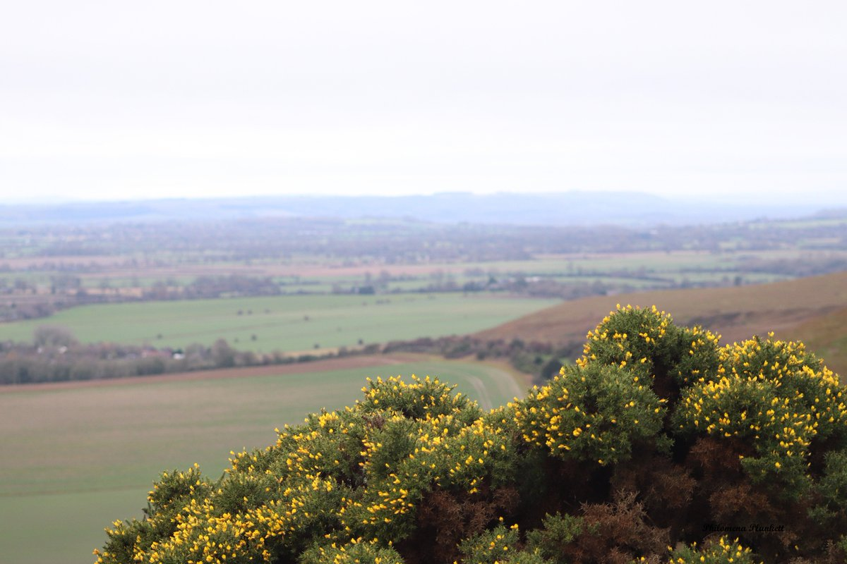 When I got to the top of the hill there I found the colour #yellow.  A large gorse bush in full bloom, a welcome site. @BSBIbotany  @wildflower_hour<br>http://pic.twitter.com/MHbaRNVCIW