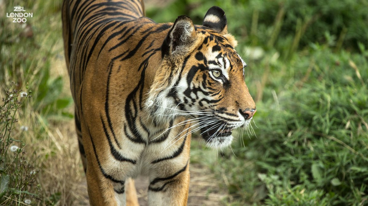 #Tiger populations have dropped by 96% in 100 years. Their bones are in high demand in certain countries to produce wine which is believed, incorrectly, to have medicinal properties. @OfficialZSL is working to #EndWildlifeCrime - find out how:  https://www. zsl.org/conservation/h ow-we-work/illegal-wildlife-trade-crisis &nbsp; …  #Dynasties<br>http://pic.twitter.com/glkKrbtLrq