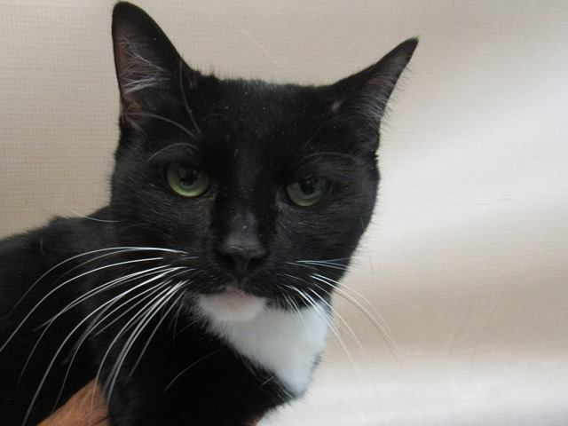 ***TO BE DESTROYED 12/10/18*** LIL BABY WANTS TO BE YOUR BABY! Seven year old terrific tux, Lil Baby is a black and white spayed cat that was surrendered by her owner due to the fact moving and she can no... facebook.com/NYCDEATHROWCAT… …