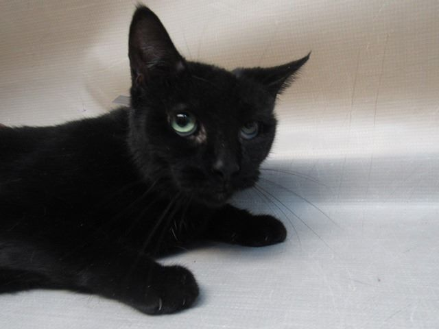 ***TO BE DESTROYED 12/10/18*** SWEET SEVEN YEAR OLD PANTHER NEEDS YOU! Shayra is a black spayed cat that was surrendered by her owner due to the fact moving and she can no longer care for her. The owner stated... facebook.com/NYCDEATHROWCAT… …