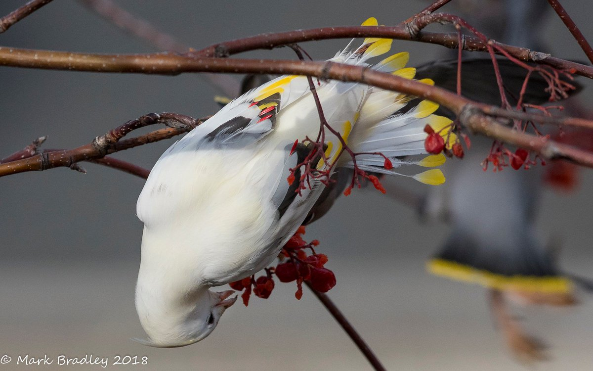 RT @FisherSpeaks: How's this for a stunner? Leucistic Bohemian Waxwing photographed by my friend Mark Bradley. Wow! https://t.co/3IzRxDhFeg