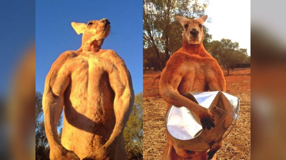 Roger the muscular kangaroo dies, aged 12 https://t.co/yqd6wEoiNj