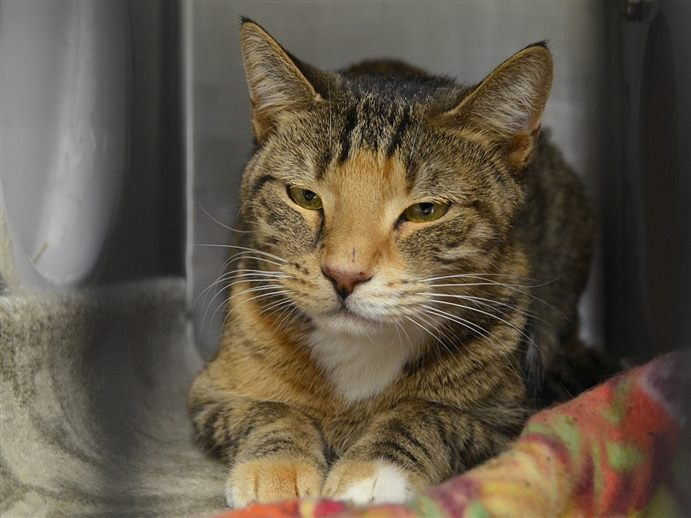 ***TO BE DESTROYED 12/10/18*** MARVELOUS MARCO READY TO GO HOME WITH YOU! Marco is a domestic two year old brown tabby shorthair male cat that was abandoned at a vet hospital. Yup--a vet office dumped poor Marco... facebook.com/NYCDEATHROWCAT… …