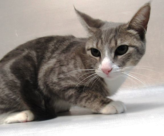 *** TO BE DESTROYED 12/10/18 *** RETURN Little LINA needs an experienced cat purrson tonight stat! LINA is a fearful two year old who may get overstimulated. She needs someone who can work with her to help her... facebook.com/NYCDEATHROWCAT… …