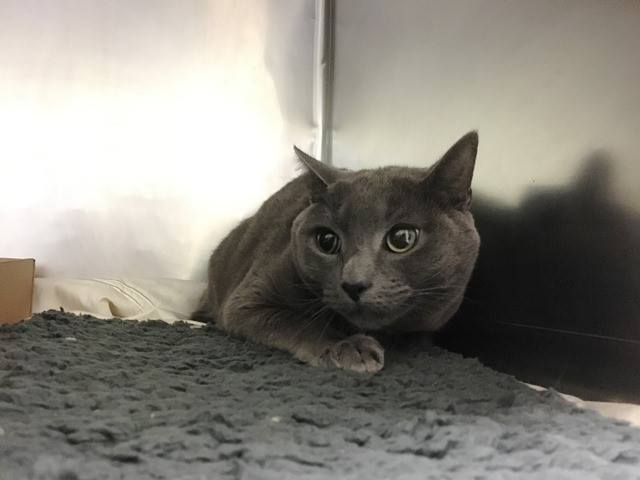 *** TO BE DESTROYED 12/10/18 *** FELV+ Mellow guy ONYX has been dumped for the holiday because of a move.....He has lived with children and is relaxed with them. He is a laid back kind of guy who can live as a... facebook.com/NYCDEATHROWCAT… …