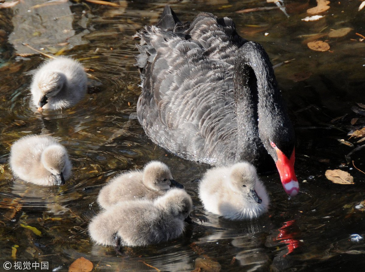 A couple of black swans and their adorable cygnets roam on the half-frozen lake in the Old Summer Place, #Beijing, attracting lots of tourists