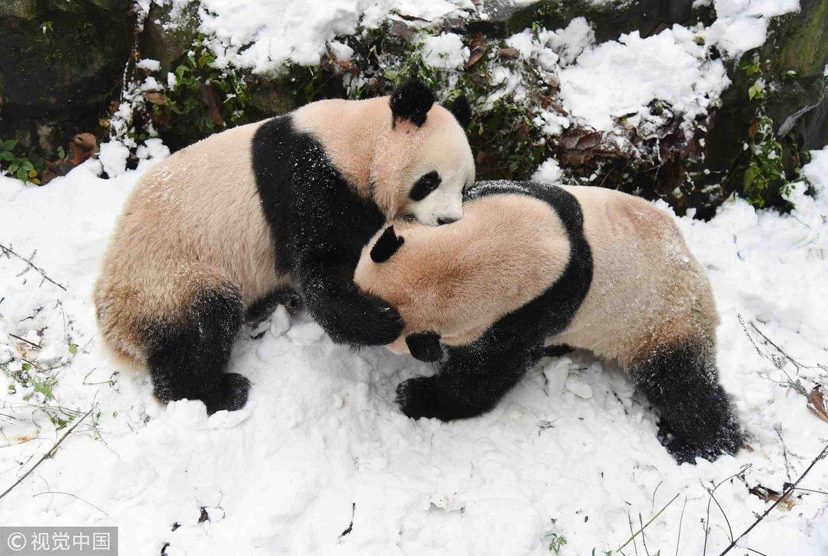 Giant panda brothers Chengjiu and Shuanghao enjoy playing on snow at Hangzhou Zoo, E #China's Zhejiang Province
