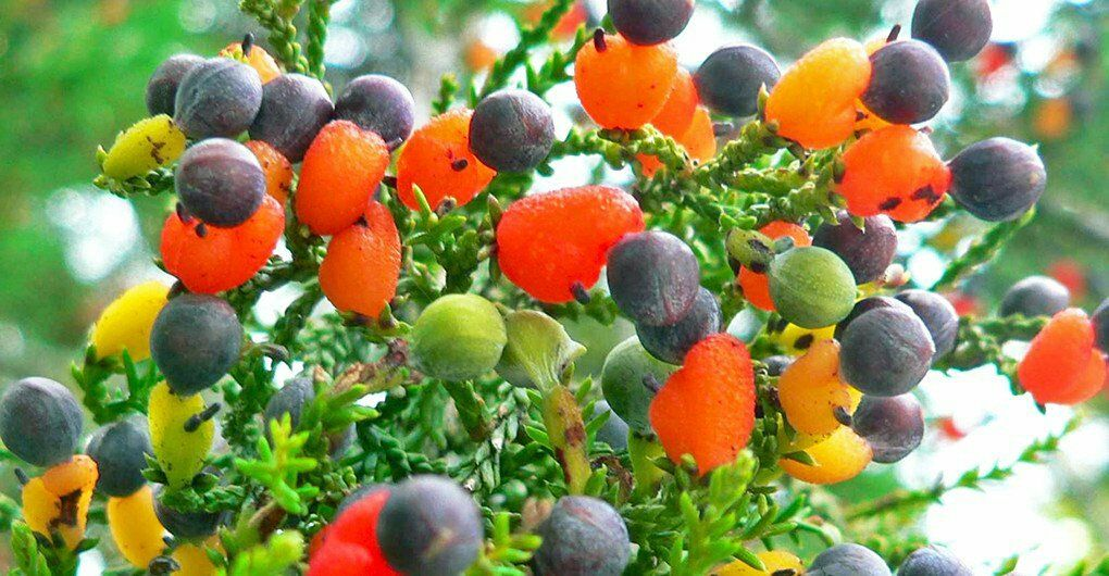 Uberfacts On Twitter The Fruit Salad Tree Can Grow Up To Seven