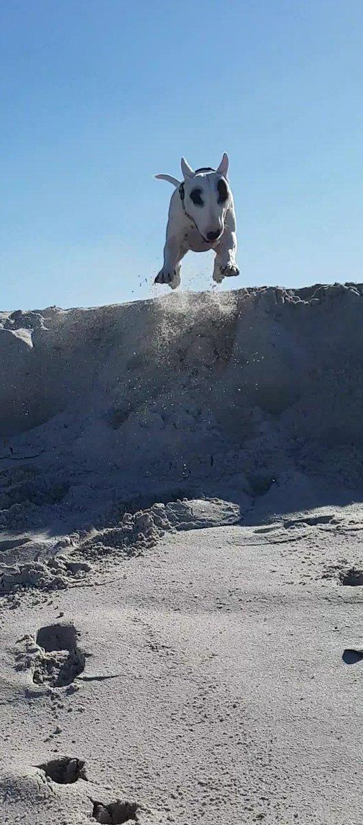 #BenTheBullterrier &quot;Airborne&quot; #bullterrier <br>http://pic.twitter.com/Mc53OXSUi7