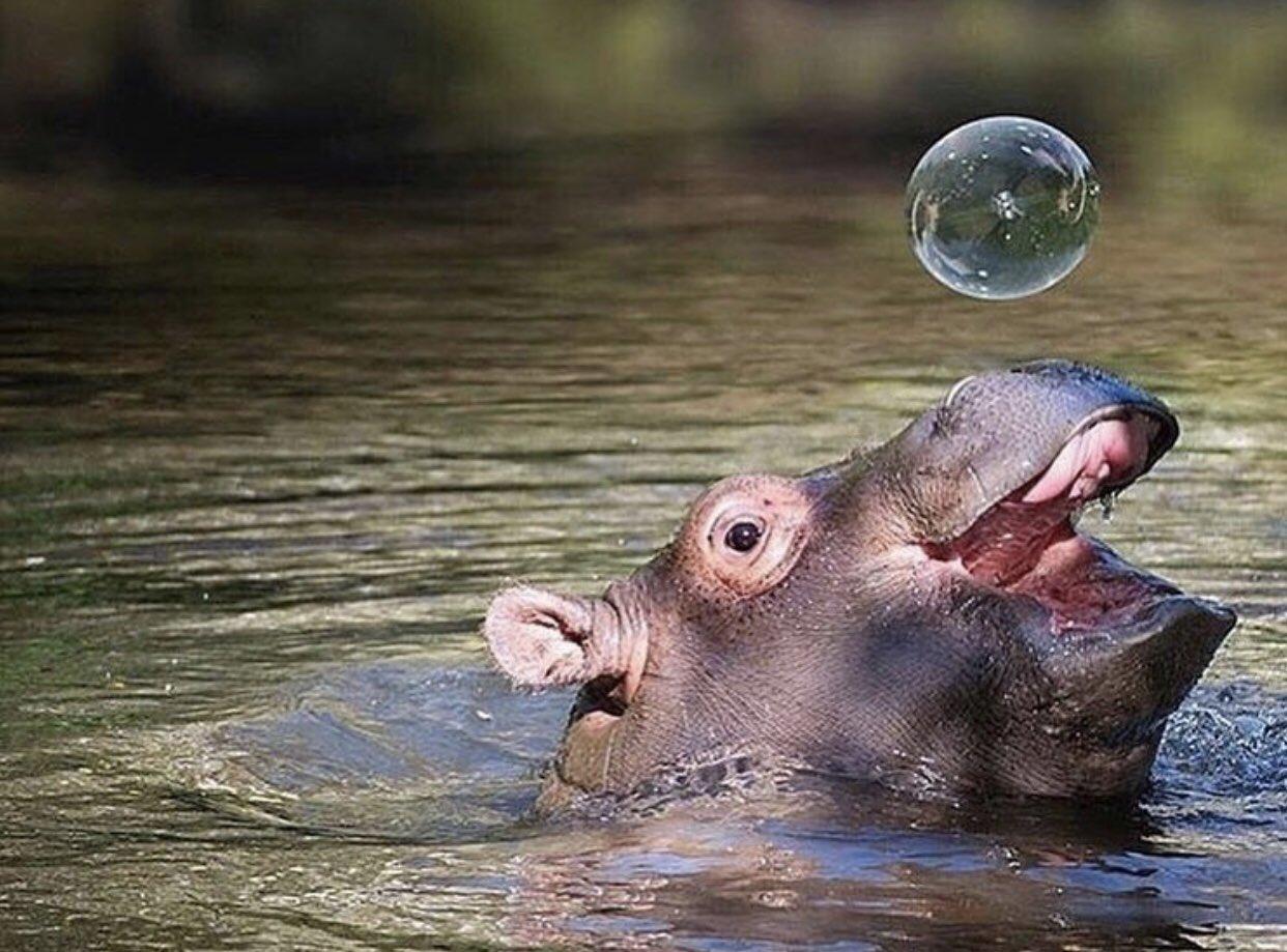 Смешные картинки бегемота