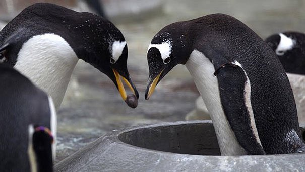 On a bleak and dismal Monday... Gentoo penguins propose to their lifemates with a pebble. 😊