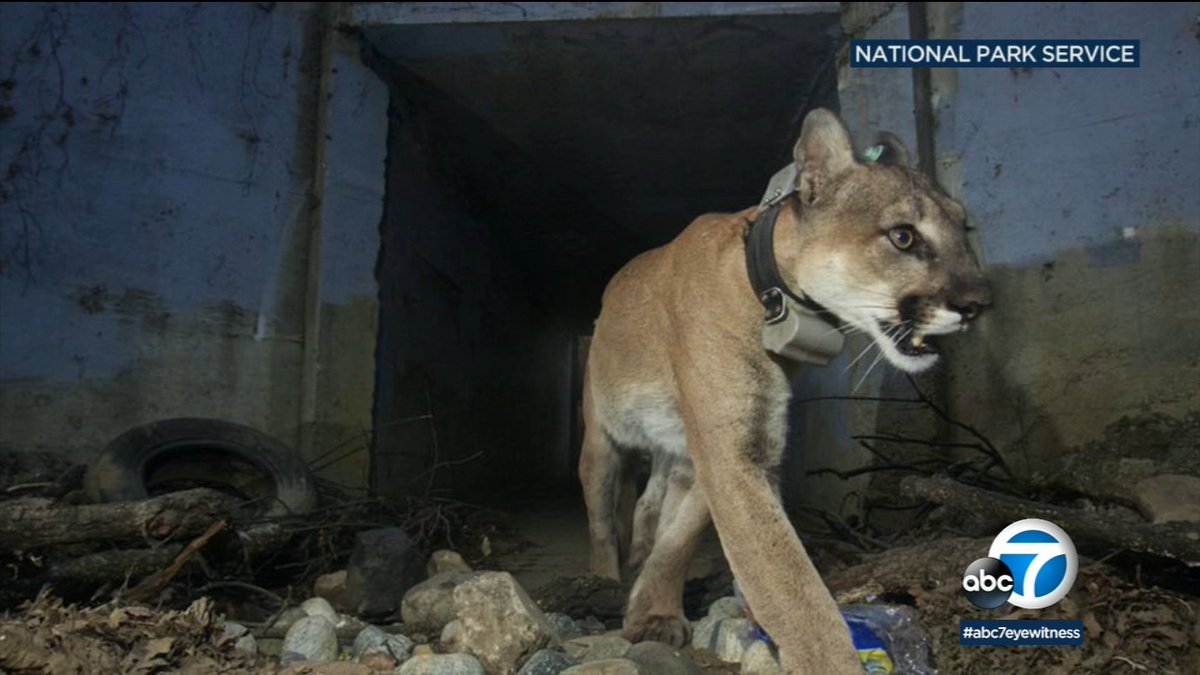 Mountain lion P-64 found dead with burns after surviving Woolsey Fire abc7.la/2G61eYX