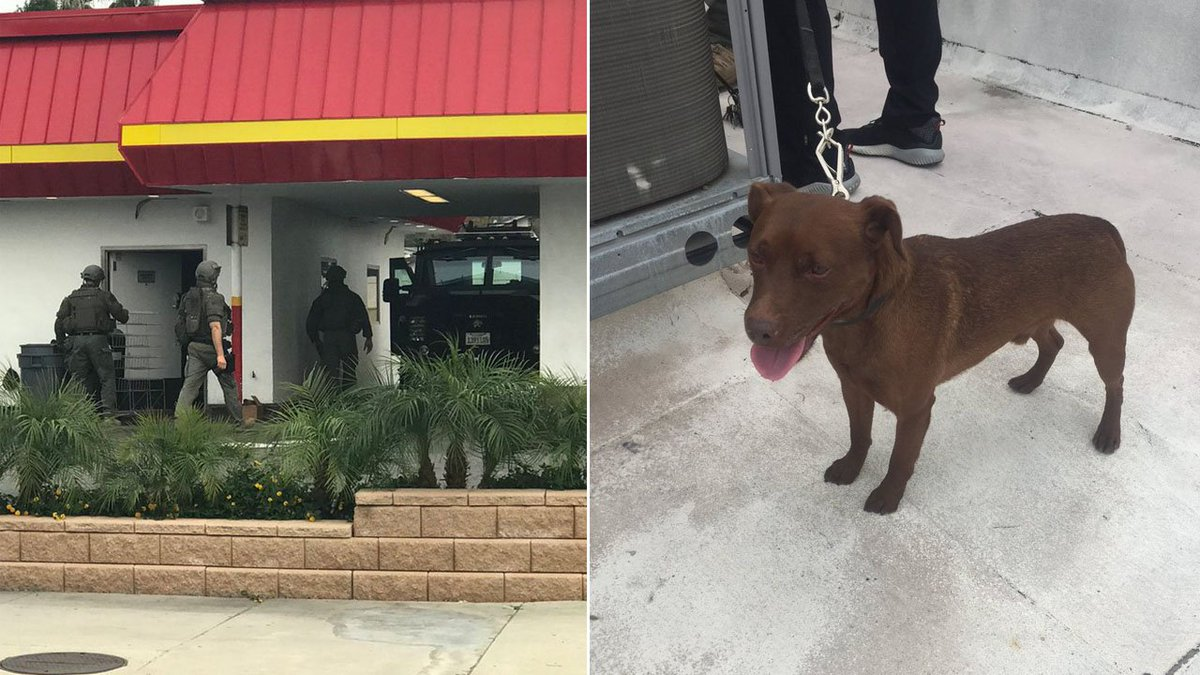 GOOD BOY! Deke, a sheriffs department patterdale terrier who specializes in searching confined spaces, helped locate a suspect hiding inside the roof of an In-N-Out in Temple City abc7.la/2G6NoFt