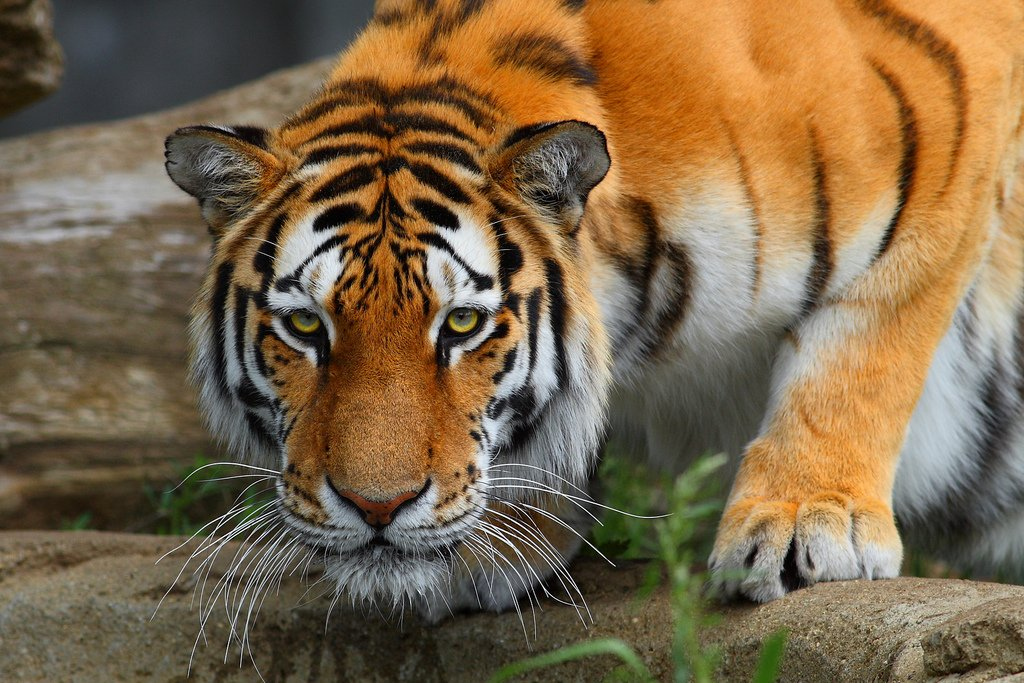Malayan #tiger in crisis! The tiger is the most endangered of the #BigCats on this 🌏goo.gl/rxP4X6 via @malaysiakini 🐯