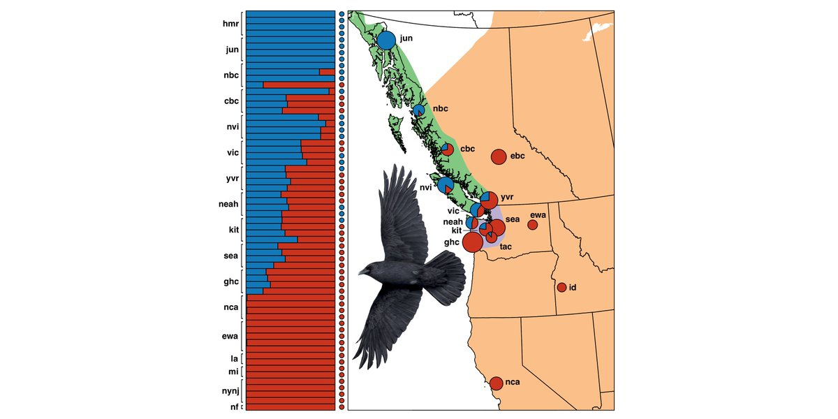 What happens when species with similar phenotypes experience secondary contact? Introducing our @biorxivpreprint: Cryptic and extensive hybridization between ancient lineages of American crows. biorxiv.org/content/early/…