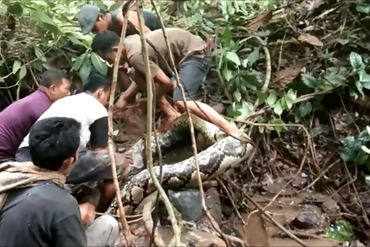 Great snakes! Indonesians wrestle with giant python https://t.co/PLrcFLavZU