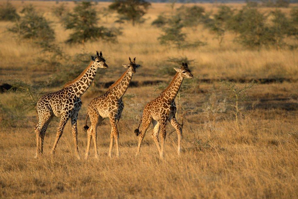 Pourquoi vous devez voir le documentaire 'Afrique sauvage' sur Netflix ?  🦒https://t.co/fg8u0MyljD @NetflixFR